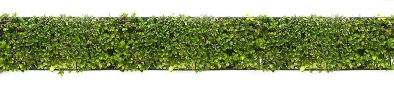 grüne Hecke isoliert auf weiß foto