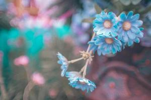 blaue Kirschblüten foto