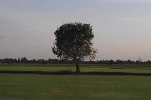 einsamer Baum in einem großen Feld foto
