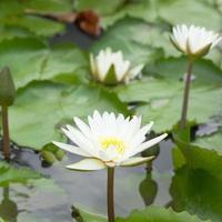 weiße Lotusblume im Teich foto