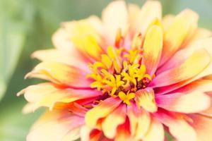 gelbe Staubblätter Nahaufnahme foto