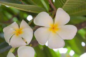 weiße Blume in voller Blüte