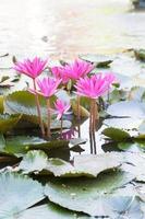 Lotusblumen in einem Teich