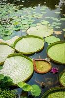 Teich mit Seerosen gefüllt