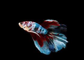 siamesischer kämpfender Fisch lokalisiert auf schwarzem Hintergrund