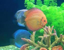 Diskusfische in einem Aquarium foto