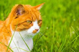 Seitenansichtporträt der orange Katze, die im grünen Gras sitzt foto