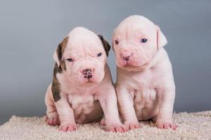 Porträt von zwei amerikanischen Bulldoggenwelpen