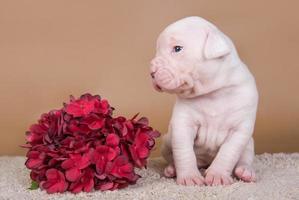 Porträt des amerikanischen Bulldoggenwelpen mit den roten Blumen
