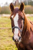 Porträt eines braunen Pferdes, das Kamera betrachtet