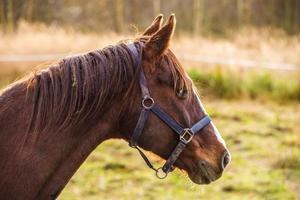 Seitenansicht eines braunen Pferdes