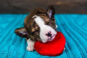 Porträt des Basenji-Welpen, der auf rotem Herzkissen schläft foto