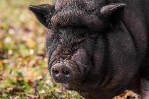 Porträt des vietnamesischen Topfbauchschweins, das Kamera betrachtet foto