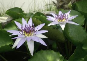 zwei lila Seerosen