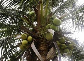 Kokosnussbaum gegen Himmel foto