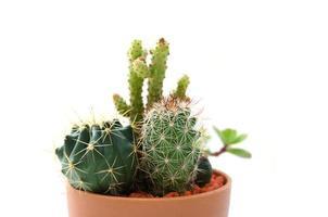 Kaktus auf weißem Hintergrund foto