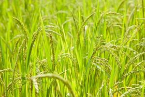 Reis auf dem Reisfeld