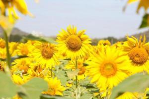 Sonnenblumen auf einem Feld foto