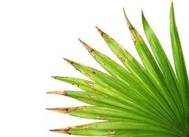 grünes Blatt mit braunen Spitzen