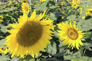 Sonnenblumen während des Tages foto