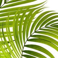 Gruppe hellgrüner Pam Blätter