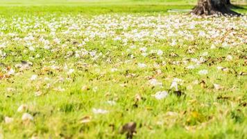 grünes Feld mit gefallenen weißen Blumen foto