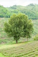 Baum auf einer Teefarm