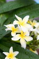 Plumeria blüht in voller Blüte