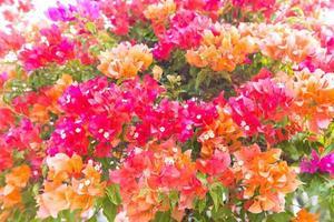 Blüten des Fengue foto