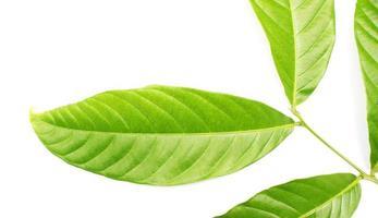 grünes Blattdetail auf Weiß