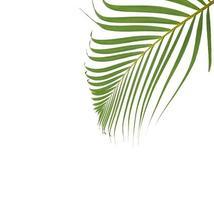 grünes Palmblatt mit Kopienraum auf weißem Hintergrund