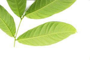 Nahaufnahme von grünen Blättern auf weißem Hintergrund
