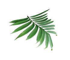 üppig grüne Palmblätter auf einem Ast foto