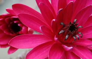 leuchtend rosa Lotusblumen