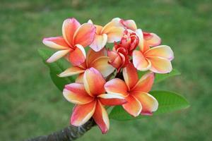 orange und rosa Frangipani Blüten foto