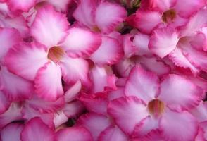 Nahaufnahme von rosa Blumen draußen