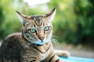 Augen der getigerten Katze