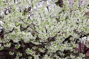 blühende weiße wilde Himalaya-Kirsche oder Prunus cerasoides am königlichen landwirtschaftlichen Forschungszentrum Chiangmai Khun Wang, Thailand foto