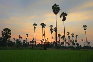 Silhouette von Zuckerpalmen während der Sonnenuntergangszeit foto