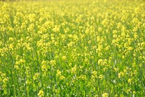 Senfpflanzen in Indien