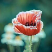 Vintage Farbe der blühenden Mohnblume foto