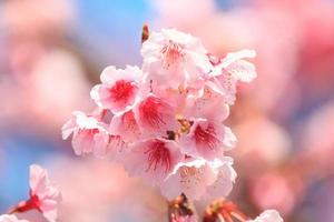 rosa Kirschblüte mit blauem Himmel foto