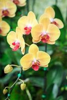 thailändische Orchideenblüten in der Orchideenfarm foto