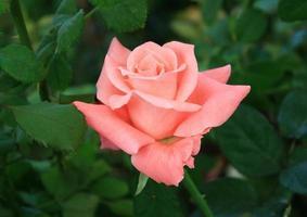 schöne rosa Rose foto