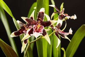 lila und weiße Orchidee