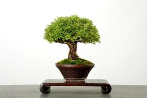 japanischer Bonsai-Baum foto