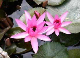 Draufsicht auf Lotusblumen foto