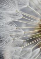 weißer Löwenzahnblumensamen foto