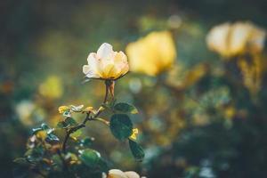 Blüten eines Mini-Rosenstrauchs foto