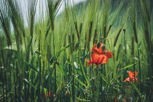 Mohnblumen zwischen grünen Weizenspitzen foto